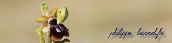 L'origine des Ophrys flavescents : le scoop à ne pas rater Banpepoint_small