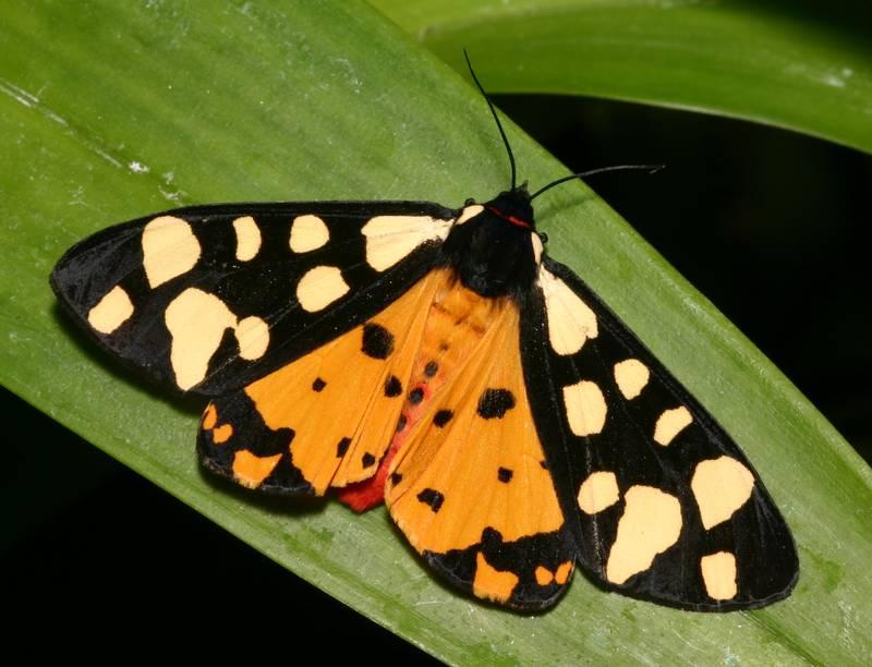 papillons  u00e9cailles
