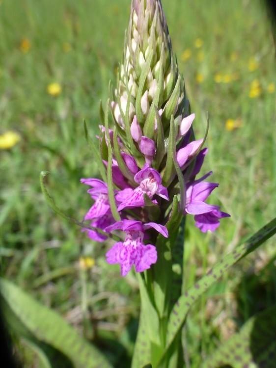 Pays de Galles 6 juin Dactylorhiza%20majalis%20Big%20Pit%202%20%283%29