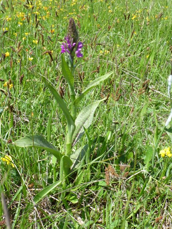 Pays de Galles 6 juin Dactylorhiza%20majalis%20Big%20Pit%202%20%286%29