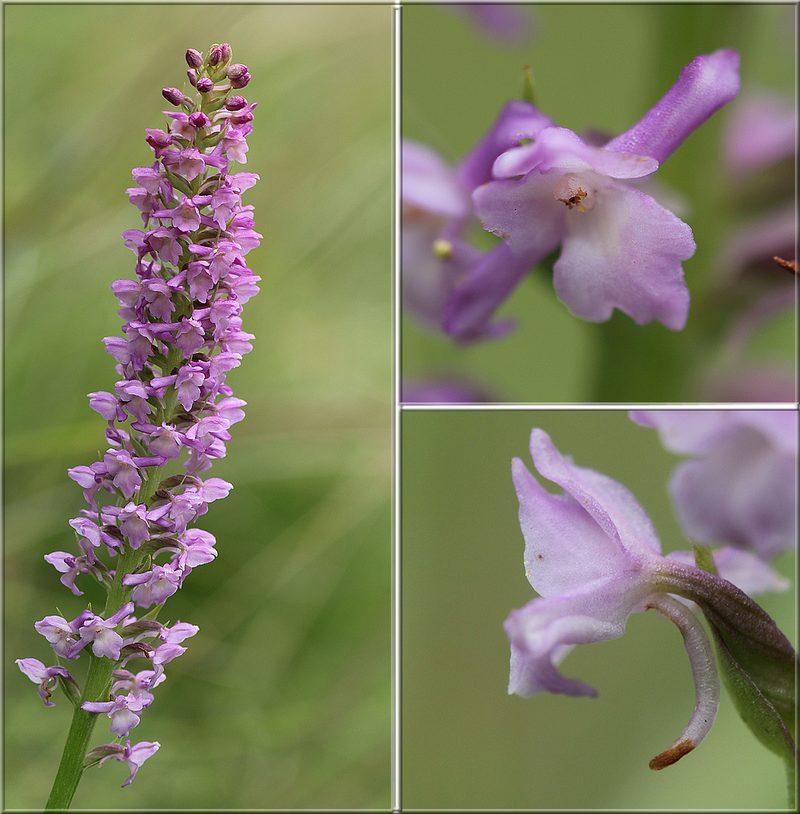 Gymnadenia odoratissima ( Orchis odorant ) Gym_odoratissima