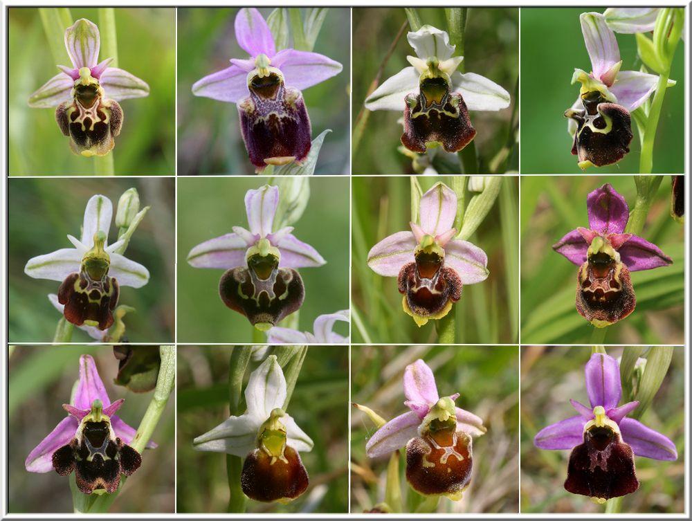 Ophrys fuciflora subsp.demangei... Ofuciflora6