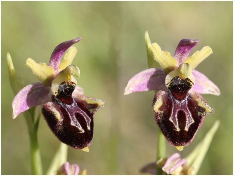 Ophrys incubacea X pseudoscolopax Op_incubaceaXpseudosco2012