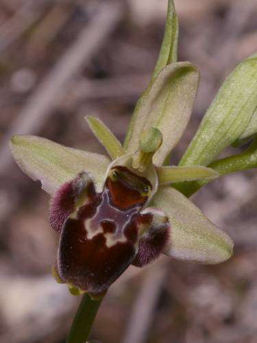 Ophrys provincialis x pseudoscolopax  Op_provincialisXscolopax1