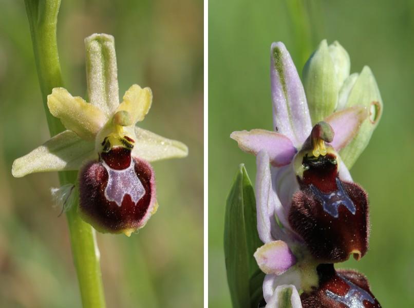 Ophrys provincialis X splendida Op_provincialisXsplendida