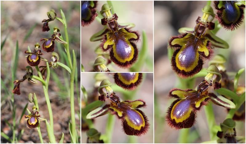 Ophrys miroir histoire de speculer un peu...) Op_speculum_2012B