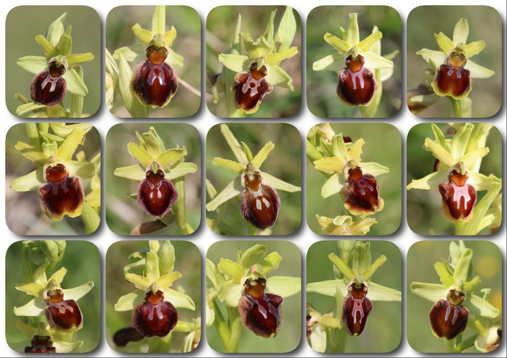 Ophrys suboccidentalis Ophrys%20StLoup%20A