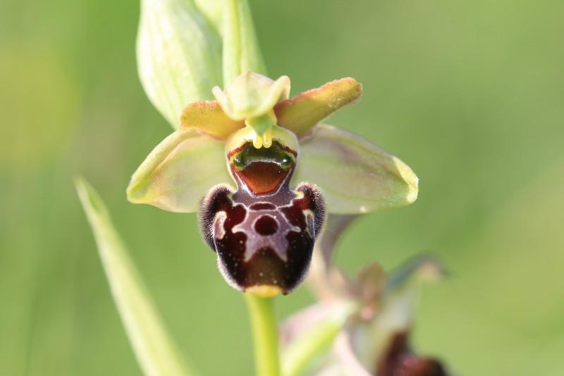 Ophrys aranifera x scolopax (x nouletii) Ophrys%20aranifera%20X%20scolopax%20(4)