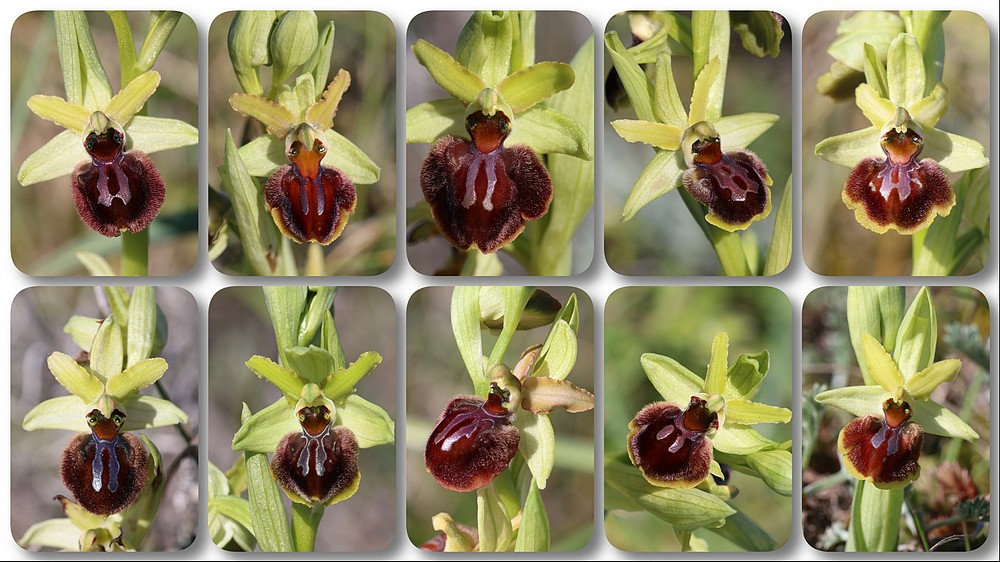 Ophrys suboccidentalis subspc olonae (Ophrys des Olonnes) Ophrys%20olonae%20vert
