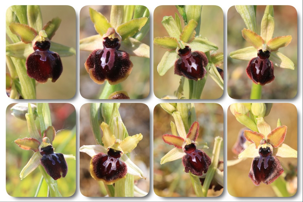 Ophrys du Pays Basque Ophrys%20passionis%20plouhinecb