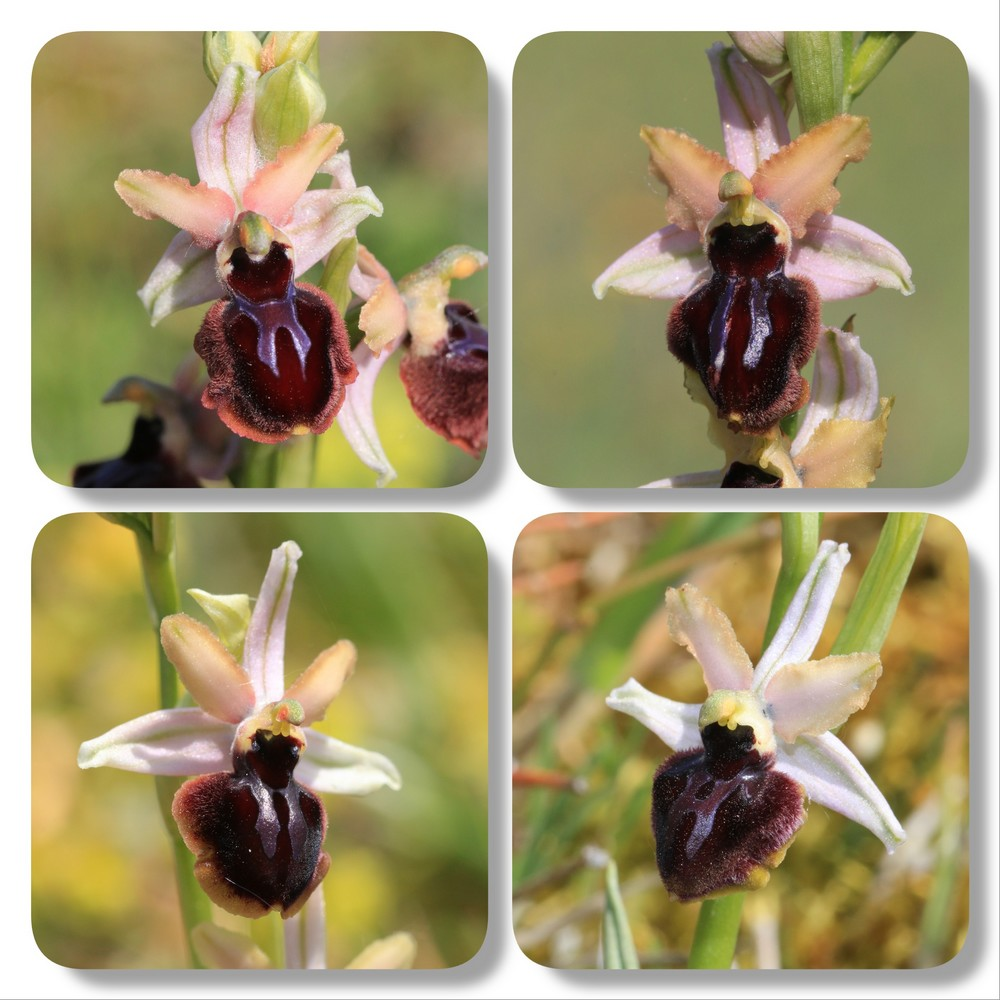 Ophrys du Pays Basque Ophrys%20passionis%20roseb