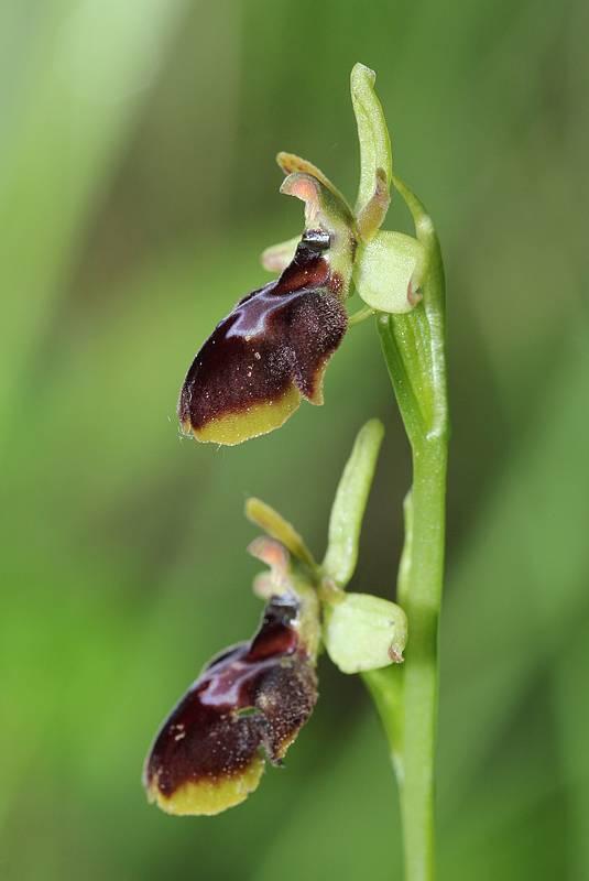 Ophrys aranifera X insectifera (x hybrida) AraniferaXinsectifera2