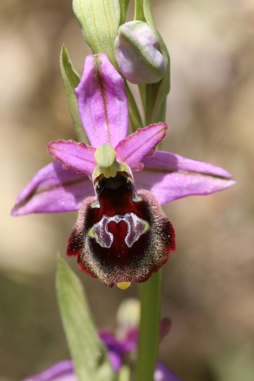 Ophrys bertolonii saratoi ( O. drumana )   X fuciflora (SL) Drome%20a4