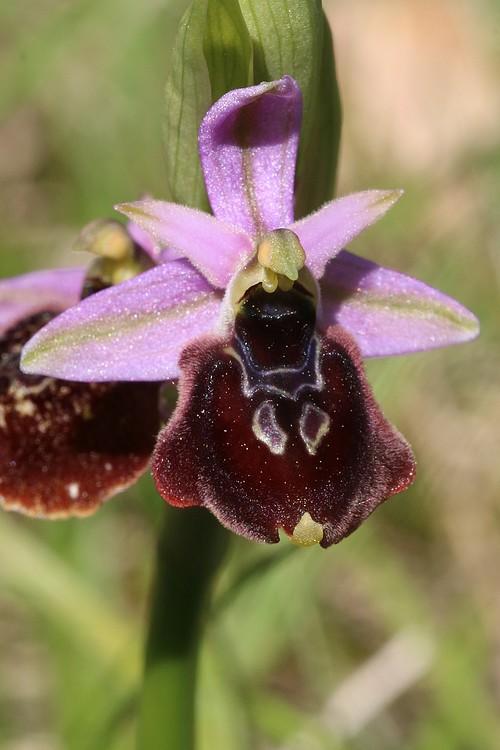 Ophrys bertolonii saratoi ( O. drumana )   X fuciflora (SL) Drome%20f2