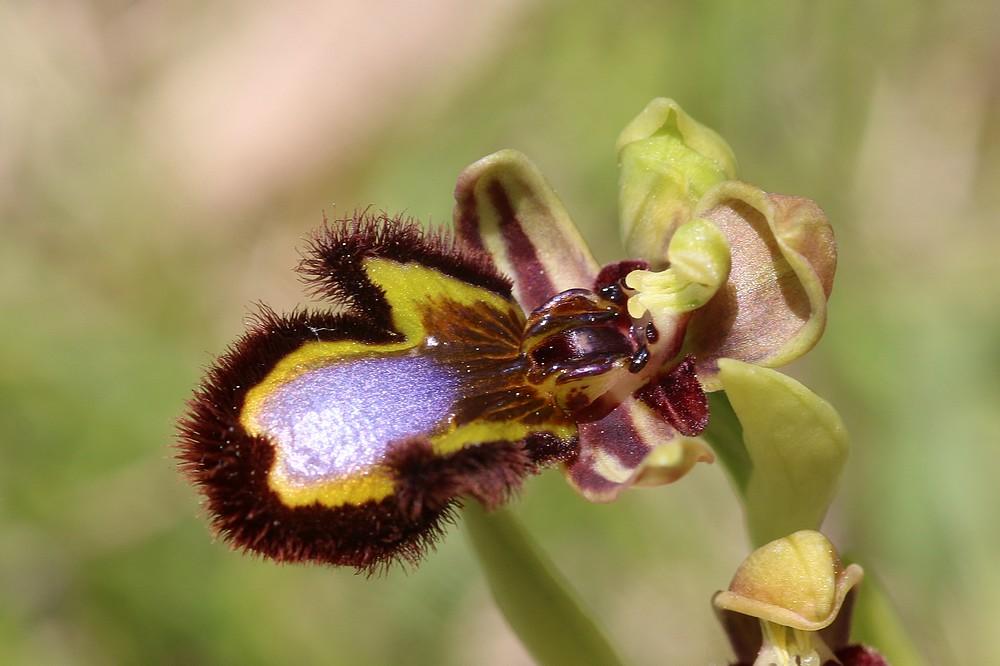 Ophrys miroir histoire de speculer un peu...) Drome%20f9