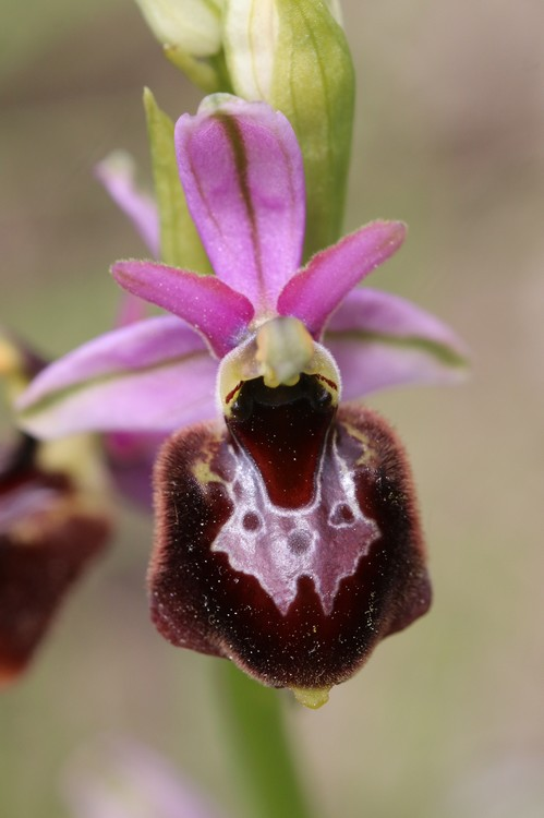 Ophrys bertolonii saratoi ( O. drumana )   X fuciflora (SL) Drome%20j11