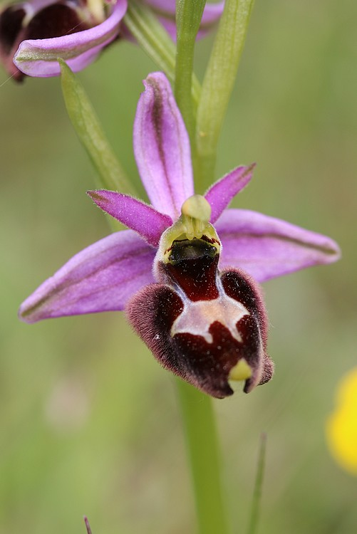 Ophrys bertolonii saratoi ( O. drumana )   X fuciflora (SL) Drome%20j8