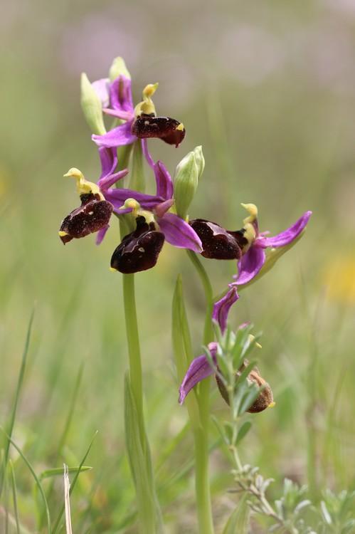 Ophrys bertolonii saratoi ( O. drumana )   X fuciflora (SL) Drome%20j9