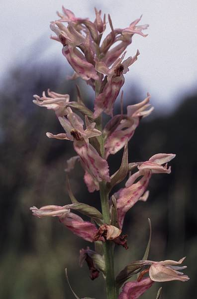 X Dactyloglossum Fuchsixviride3