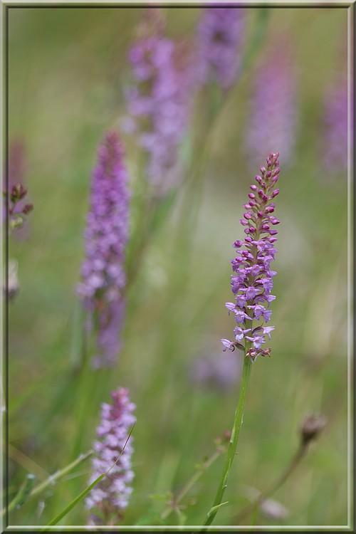 Gymnadenia odoratissima ( Orchis odorant ) Odoratissima2015a