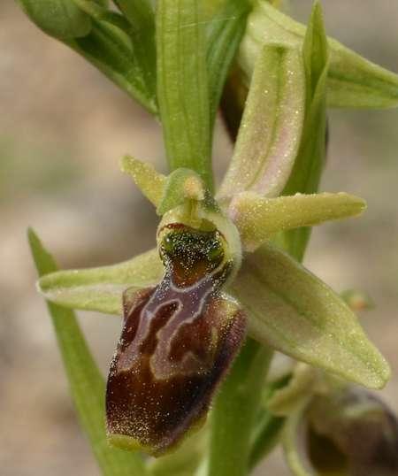 Ophrys marzuola X scolopax OmarzuolaXscolopax