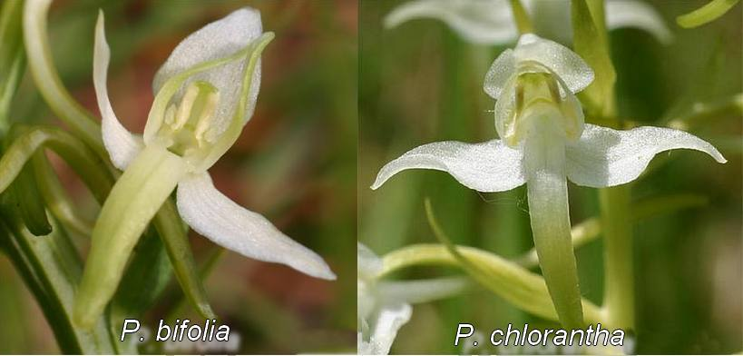 [Identification] Les Platanthères Platantheres