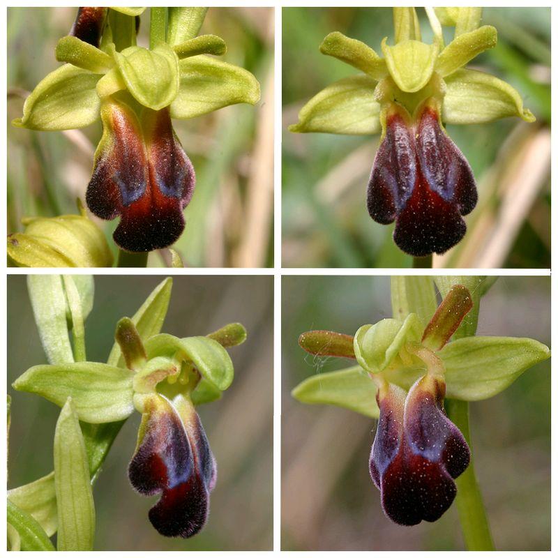 (IDENTIFICATION) Les Ophrys au nord de la Loire Sulcata