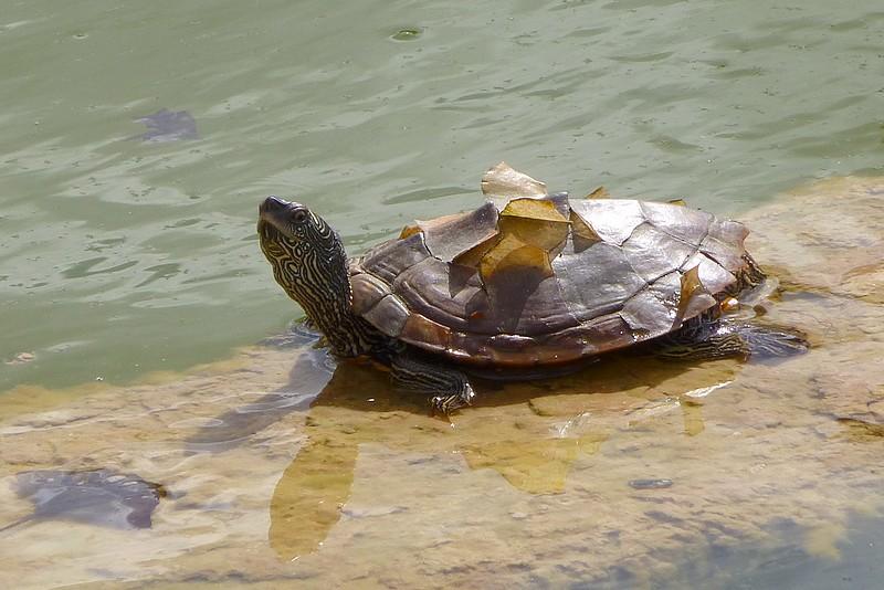 Tortues - Bassin tortue floride strasbourg ...
